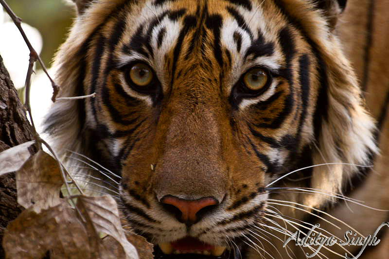 Head shot of a tigress