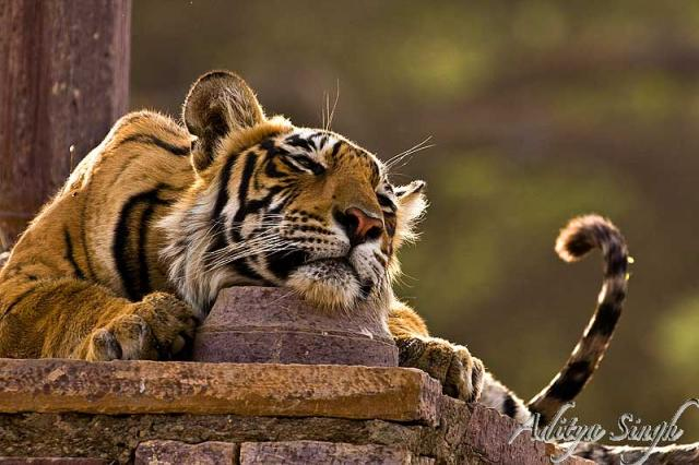 Tiger in a palace in Ranthambore