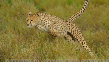 cheetah charge